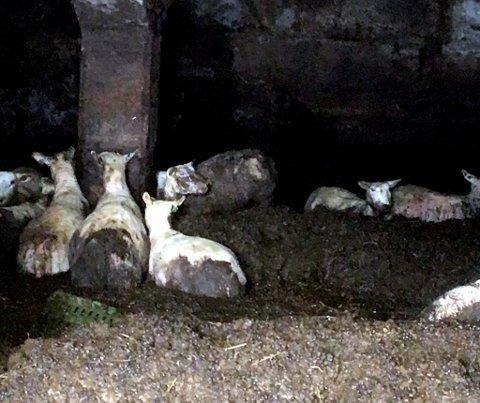 Her står sauene i 70 cm møkk på garden i Vågå. De ble reddet ut like etterpå.