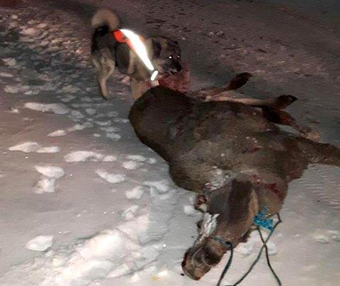 ETTERSØK: Her er ettersøkshunden Scott og en elg som omkom etter påkjørsel.