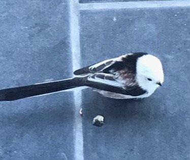 STJERTMEIS: Fuglen var så rolig at Judith Kvelland lurte på om den var skadet. Men da hun skumpet borti den så den skulle fly, så fløy den av gårde som ingenting.