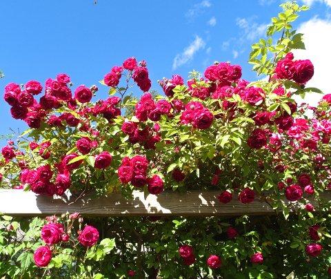 PRAKTFULLE: Rosene i Grethe-Karin Hovdes økologiske hage bugner av roser og andre vekster.