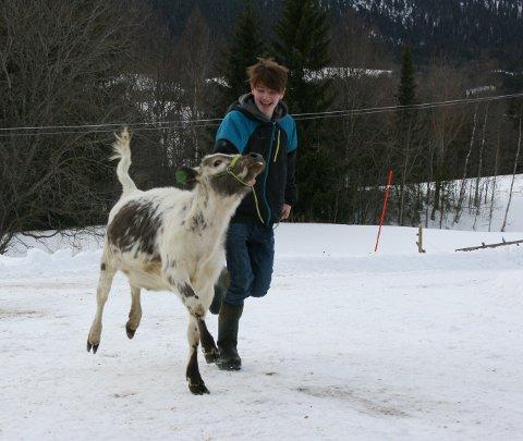 TRENER: Brage Horten trener opp kalven Opera til sceneopptreden i sommer.