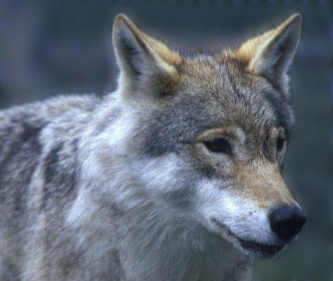 ULV: Jakten etter ulv har vært resultatløs etter at 17 sauer er funnet døde, eller så skadd at de måtte avlives. Illustrasjonsfoto Scanpix