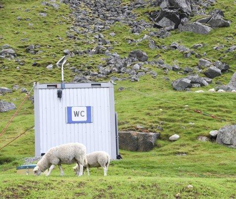 Fredelig: Sauene på Uttakleiv virker uberørt av turiststrømmen