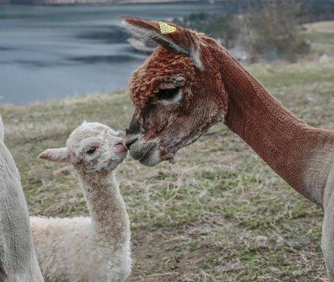 ONKELKOS: Onkel Rusti passar på den nye medlemen av alpakkaklanen.
