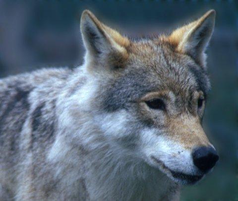 Bilde: sp980c80 Norges Jeger- og Fiskeforbund mener at det må bli lov å felle flere ulv enn det som nå er lovlig etter at ulvebestanden i Norge øker. Illustrasjonsfoto: Per Løchen / NTB SCANPIX