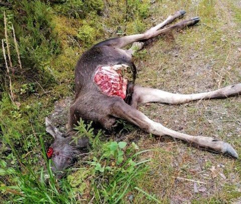 SLAG OG BITT: Her ligger det som er igjen av elgkviga etter møtet med bjørnen. Foto: Privat