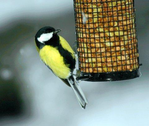 SKAL TELLES: Denne helga skal hageeiere over hele landet telle fugler i egen hage.