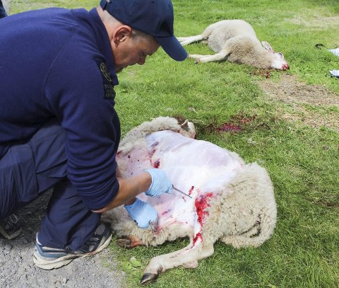 ULV: Rovviltkontakt Jon Petter Bergsrud i Statens Naturoppsyn bekrefter at ulven har tatt flere sauer. Antallet er foreløpig ukjent.