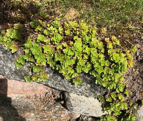 STJAL VEKSTER: Slike planter pryder kirkegårdsmuren ved Asak kirke. Et eldre ektepar vil tydeligvis ha disse vekstene i egen hage og forsynte seg fra kirkegården. Det reagerer kirkeverge Jan Ivar Andreassen på. – Det er ikke lov, understreker han.