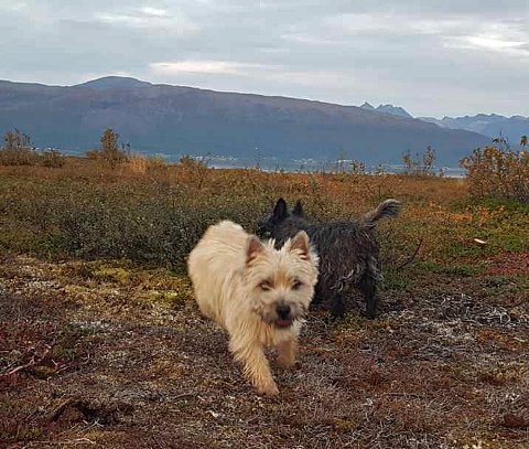 SAVNET: «Raya» - en beige cairn terrier - er savnet i fjellområdet ovenfor Hella og Skavberg.