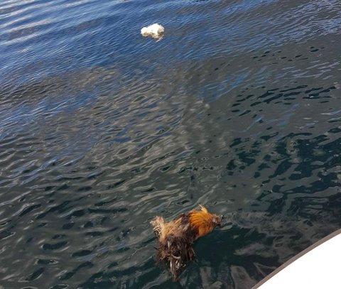 HØNS: Tre døde høns ble observert mellom Jørpelandsholmen og Tungland mandag ettermiddag.