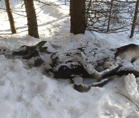 DØD: Denne avmagra elgkua har blitt funnet død like inntil Snaukollveien som går oppover åsen like ved Knivedalen i Skotselv. Elgkua er testet for skrantesjuke, men prøva er ikke analysert enda.