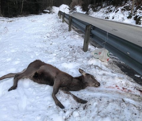 Tidlegare i dag (måndag) måtte ei hjortekolle (kvige) bøta med livet etter å ha blitt påkøyrd mellom Erslandsvatnet og Leirvikvatnet på Sandvoll.