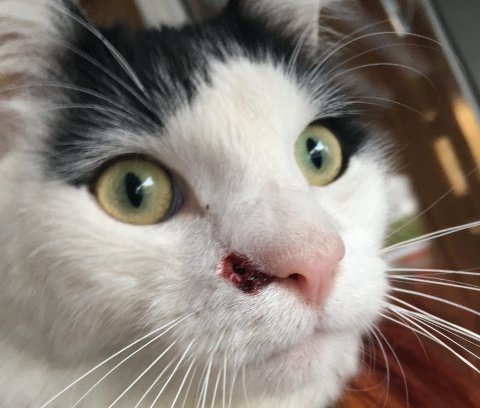 SKUTT: Katten Snøball (1) ble tirsdag skutt med luftgevær i ansiktet.