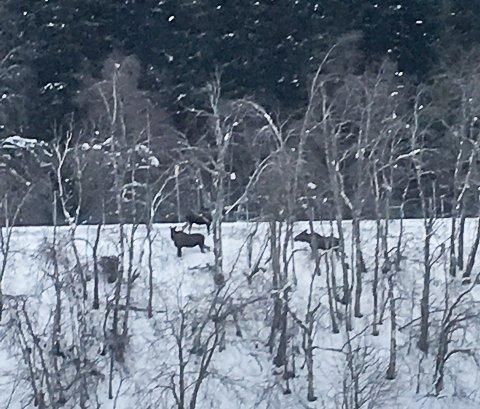 Observert: Elgen har blitt observert flere ganger ved viltgjerdet, hvor den tilsynelatene ikke klarer å finne tråkkene sine.