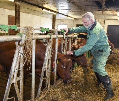 Har det godt: Dei 27 mjølkekyrne til Audun Hvidevold har det godt og leverer mykje mjølk.