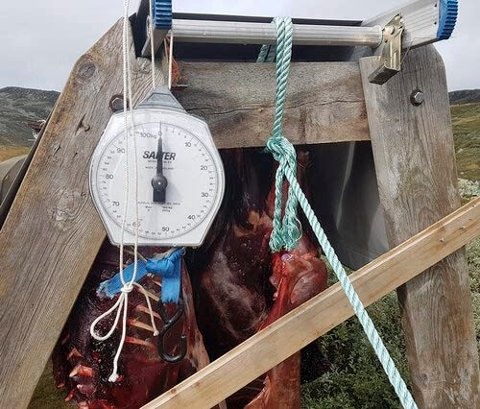 JAKT: Under årets villreinjakt blir vekt et viktig hjelpemiddel. Kalvene skal veie. (foto villrein.no)