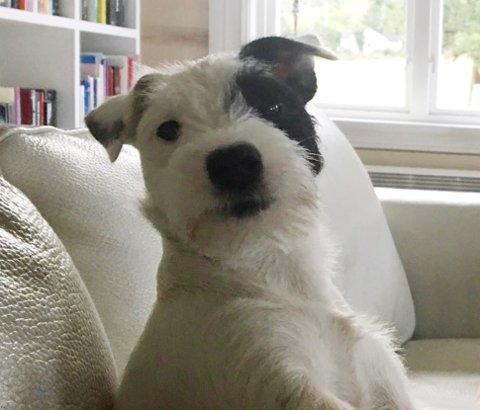 SAVNET: Jack Russell-terrieren Yster er fortsatt savnet fra sitt hjem på Gullhaug.