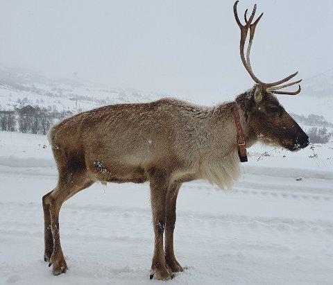 Festklar: Med jula rett rundt hjørnet, går reinsdyra travle tider i møte, men halvannet år gamle Hermann fra Filefjell Reinlag tar seg tid til å komme på førpremieren på «Frost 2» på Fagernes den 14. desember.