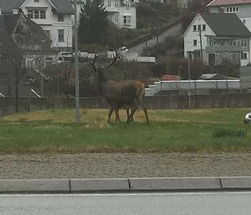 En av de to store kronhjortene i rundkjøringen på Fjøsanger.