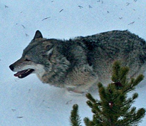 Forlik: Det er mange meninger om ulv i rovdyrpolitikken. Torsdag ble et flertall på Stortinget enig om at dagens ulvesone skal innskrenkes og at antallet ulv skal ned.Arkivfoto: Statens naturoppsyn