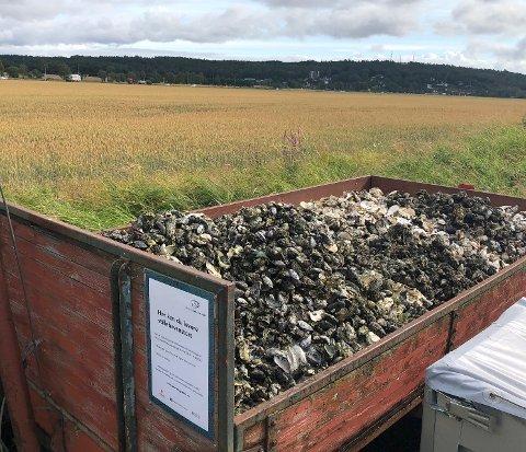 DUGNAD: I fjor ble 140 tonn stilllehavsøsters plukket på strendene i Vestfold. Hvor mange tonn blir det i år?