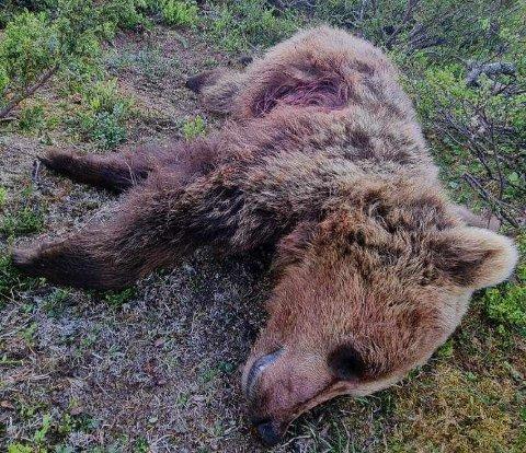 SKUTT: Gardbrukeren var ute for å ha tilsyn med sauen da han ble oppringt av noen som hadde sett bjørnen. – Så ringte det i bjeller, sier han