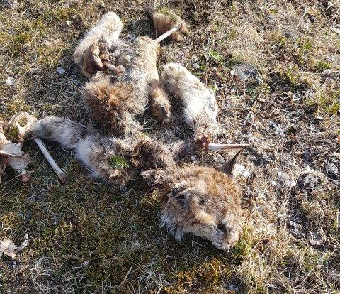 KADAVER: SNO greier ikke å finne dødsårsak da gaupa som ble funnet er påspist av kråkefugler.