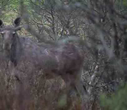Observant sjåfør meldte fra om den skadde elgen.