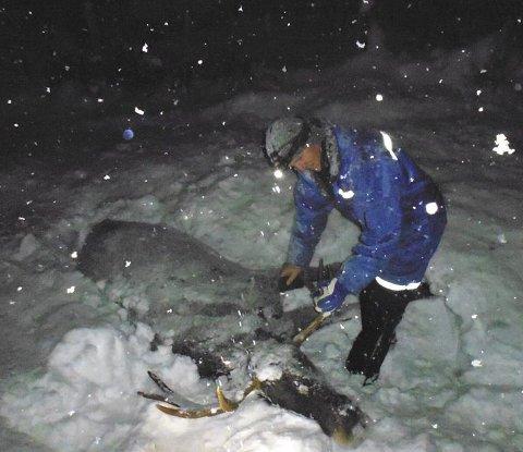 STRABASIØS NATT: Her har Jon Horten i fallviltgruppa i Os nettopp avlivet en flott elgokse ved Håmålvoll sør for Os stasjon.