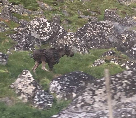 SYK: Elgen ble sist ved Bø i Borge