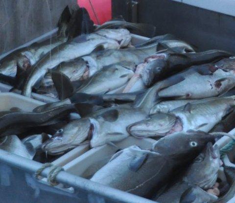 MELDTE INN FOR LITE: Skipperen må nå svi for at han meldte inn mye mindre fisk enn han hadde.