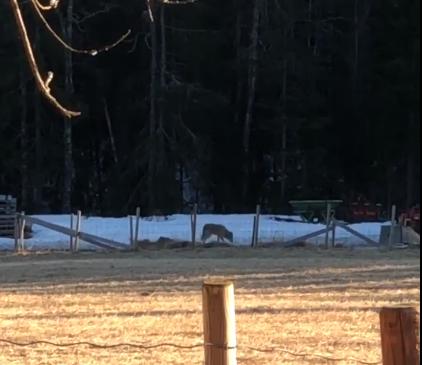 NÆRKONTAKT MED JEGERNE: Et jaktlag forsøkte å felle ulv i området Thomebygda/Leppdalen fredag ettermiddag.