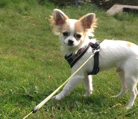 Chihuahuaen Caro (1) måtte bli igjen på dyresykehuset da matmor ikke hadde penger til regningen.