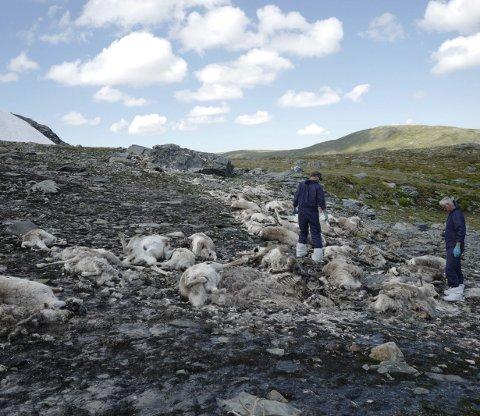 Villrein: Kring påske vart ein flokk på om lag 77 villrein tatt av skred ved Sinnhovdavatnet.