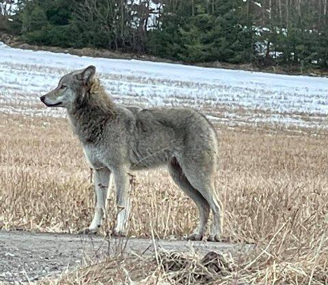 Aurskog-Høland har seks ulverevir helt eller delvis innenfor kommunegrensa. Den siste uka har mange fått sett ulv på nært hold. Foto: Privat