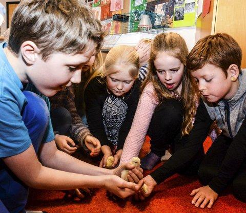Nydelege påskekyllingar: Sander (i blått), Adele, Hedda, Erling og resten av 3. og 4. klasse var heilt i hundre over dei levande påskekyllingane som kom til verda onsdag.