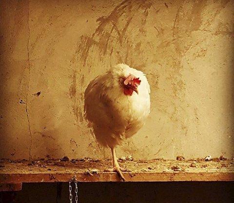 Ukesvinner 3 og månedens beste: Et fantastisk portrett av ei høne. Det kvadratiske utsnittet, bakgrunnen, kjettingen og det ene beinet til høna gjør komposisjonen så bra. Foto: Martha Ruud