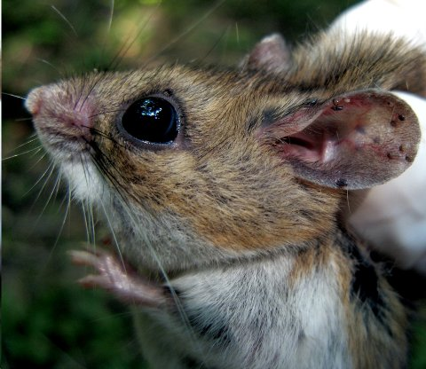 Flåttnymfer fester seg først på mus før den blir stor nok til å gå på større dyr som hjort og ulike kjæledyr.