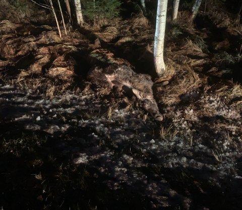 PÅKJØRT: En 2,5 år gammel elgku ble påkjørt og døde mandag morgen.