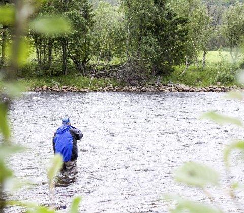 16,9 TONN FISK: Selv om det har vært bra opptak av fisk i Gaula så langt i sesongen, har ikke denne fiskeren vært av det heldigste slaget. På bildet er Leo Kiuru fra Sverige som hvert år, de siste 15 åra, har dratt med en guttegjeng for å fiske i Gaula. Foto: Martin Festøy