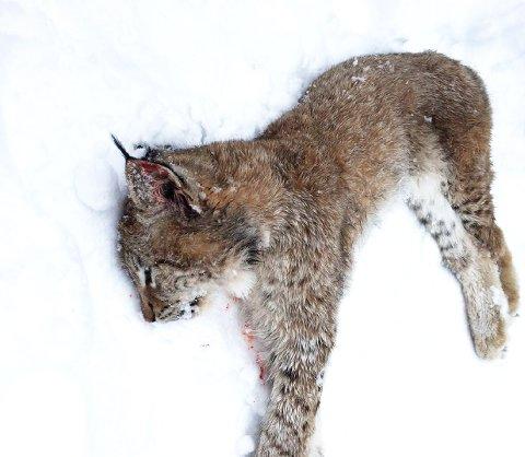 KVOTEJAKT: Ungen på 11,4 kilo er den første hanngaupa som er felt i Oppland i vinter.