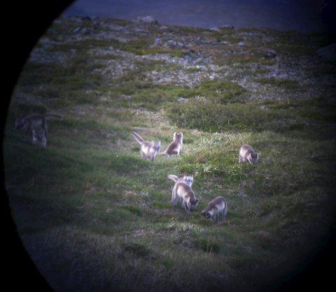 Saltfjellet: Yngling av fjellrev i 2008. Bildet er tatt gjennom teleskop.Foto: Vegar Pedersen/SNO