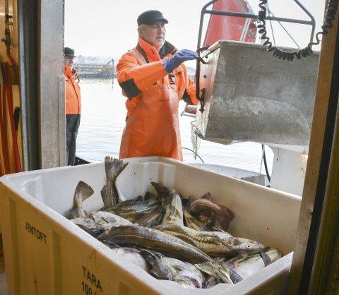 Lofoten klippfisk på Napp: Morten Jentoft regner med at 11 båter leverer fisk denne onsdagen til mottaket, ca. 20 tonn til sammen.                                    Alle fot: Karin P. Skarby