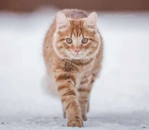 SAVNET: Katten Findus er savnet fra området Kampestadlia i Kongsberg. Nærmere bestemt Sundtløkka 25. Foto: Privat