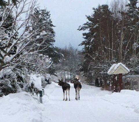 Fast gjest: Etter å ha tilbrakt flere vintre i Nannestad sentrum ble elgkua med tvillinger avlivet i går. Foto: Hege C. Røsten-Haukeland