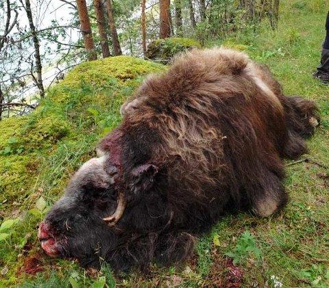 Moskusen ble skutt søndag formiddag, rett ved E6 ved Kringen i Sel kommune ved en tursti.