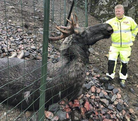 Elgokse: Denne elgoksen ble skutt ved Himmelkjerret i oktober i fjor. Da hadde den gått 3,7 kilometer langs veien.