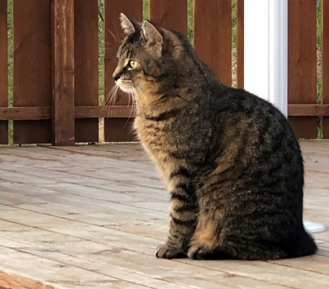 BORTE: Katten Tinka har vært borte i fire uker, og er høyt savnet.