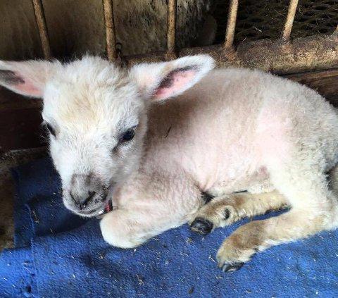 LITE: Lammet var berre 1,4 kg då det var fødd. No er det 2,5 veker og nyt livet i Frammarsvika.
